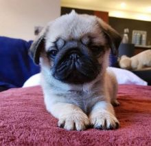 Two Top Class pug Puppies Available [ justinmill902@gmail.com]