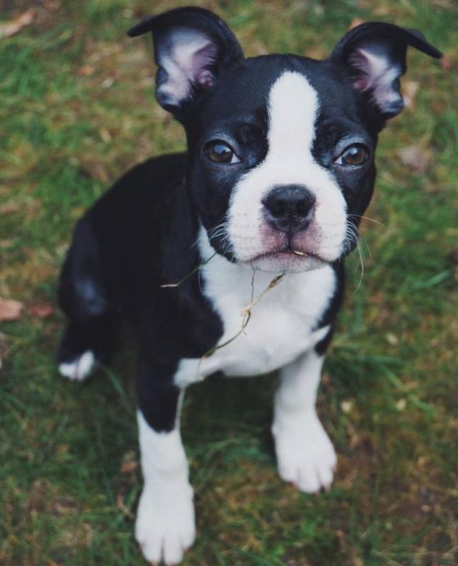 Boston Terrier Puppies [ justinmill902@gmail.com] Image eClassifieds4u
