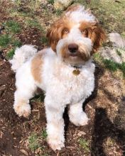 Beautiful Male and Female Labradoodle Puppies [ justinmill902@gmail.com] Image eClassifieds4U