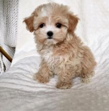 ✔ ✔Stunning Maltipoo Puppies ✔ ✔ Email at us ⇛⇛ [rickiedonavan3@mail.com]