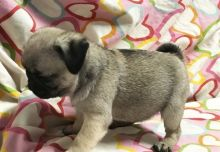 12 Weeks Old Pug Puppies for Adoption