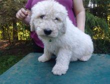 Komondor Puppies for new families