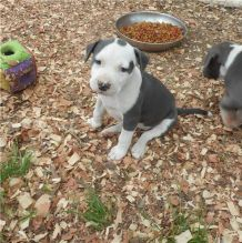 Lovely American Staffordshire terrier Puppies For Re-homing
