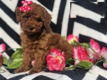 Edmonton Toy Poodle : Dogs, Puppies for Sale Classifieds at