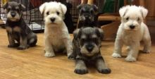 Outstanding Miniature Schnauzer puppies available