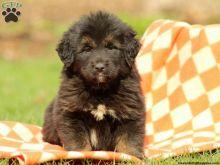 Tibetan Mastiff Pups For Pet Loving Home