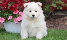 Beautifull Samoyed Dogs For Sale