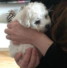 Bichon Frise Puppies Email at us [ justinmill902@gmail.com ]