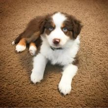 Ckc Australian Shepherd Puppies For Adoption Email at [ justinmill902@gmail.com ]