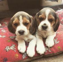 Ckc Beagle Puppies Email at us [ justinmill902@gmail.com ]