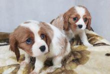 ✔ ✔ Eye-Catching ☮ Cavalier King Charles Spaniel ☮ Puppies ✔ ✔