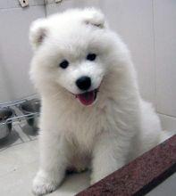 Beautiful Samoyed Puppies For Pet Loving Homes