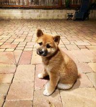 Ckc Shiba Inu Puppies CkcEmail at [ justinmill902@gmail.com ]