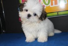 Cute and Adorable Shih Tzu Puppies for Adoption.
