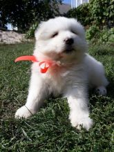 Samoyed Puppies Call or text (716) 402-8078