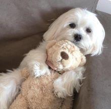 Ckc Maltese Puppies Email at us [ justinmill902@gmail.com ]