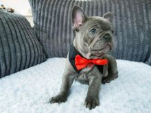 French Bulldog Puppies Available For Rehoming