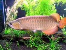 Diversed Arowana fish for sale