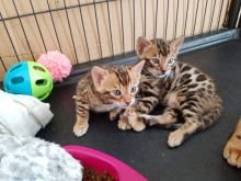 gorgeous male and female Bengal kittens