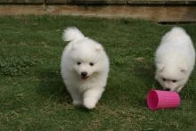 Japanese Spitz puppies Adorable,