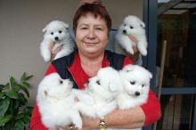 Beautiful Bear Face Japanese Spitz puppies Available