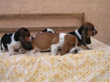 Cute Coloured Basset Hound Puppies Available