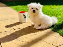 Excellent Maltese Puppies For A Good Homes