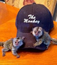 Exceptional Marmoset and Capuchin monkeys Available