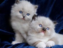Gorgeous Ragdoll kittens Ready now