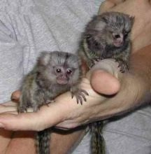 Playful Marmoset and Capuchin monkeys Available