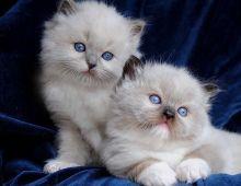 Gorgeous Ragdoll kittens Ready now Image eClassifieds4U