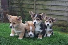 Excellent Pembroke Welsh Corgi pups 2 girls and 2 boys Available