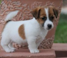 Jack Russell Puppies for new homes