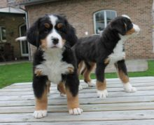 Male and female Bernese Mountain dog puppies