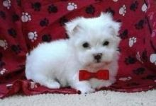 Maltese Puppies Ready For Adoption