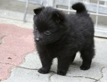 Schipperke puppies awaiting new homes