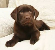 Well trained Labrador Retriever puppies ready for their new homes