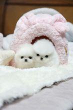 Teacup Pomeranian Available.