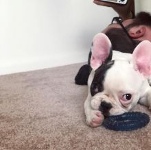 French Bulldog Puppies for Adoption Image eClassifieds4U