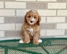 gsegw Co.c.k.a.poo puppies for sale
