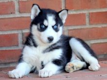 Blue eyes Siberian husky puppies For sale :Call or Text (709)-500-6186 or ( mispaastro@gmail.com )