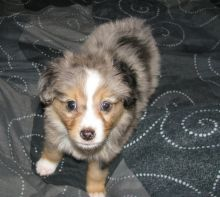 Playful Australian Shepherd Puppies For Adoption