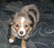 Playful Australian Shepherd Puppies For Adoption