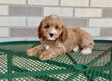 quiet Co.c.k.a.poo puppies for sale