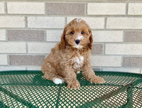handsome Co.c.k.a.poo puppies for sale Image eClassifieds4u