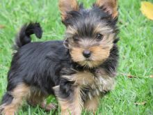 Yorkie puppies, will remain small at full growth