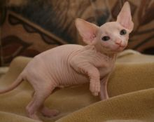 Beautiful sphynx kittens,