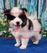 10 weeks old Pomsky Puppies