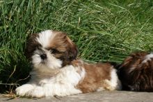Adorable Shih Tzu Puppies For Re-Homing