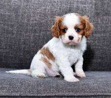 Cavalier King Charles Spaniel Puppies